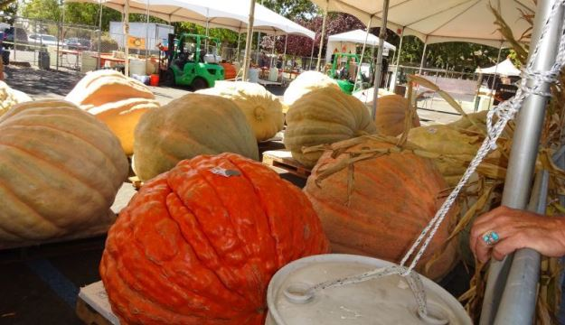 Giant Pumpkin and Produce Contest