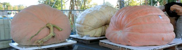 Giant Pumpkin Staging Area